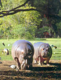 Hippos at The Haller Park, Mombasa
